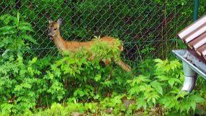 Deer interested in DMR tests