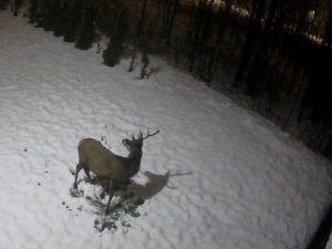 Deer in the Karkonosze Mountains